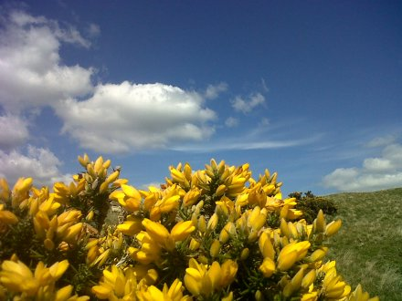gorse close up