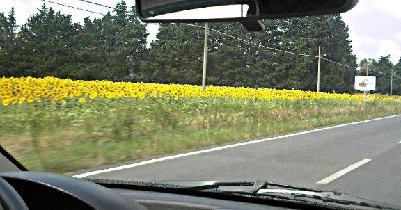 sunflowers tuscany