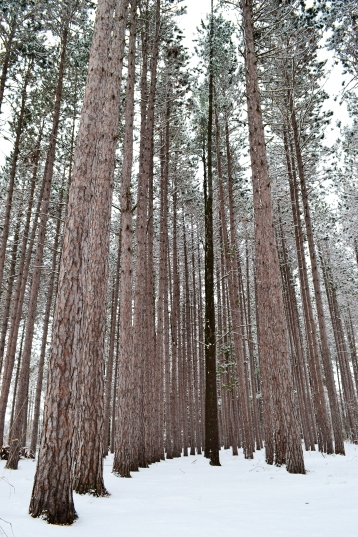 snowy Gaylord pine forest (11)